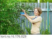Купить «Улыбающаяся женщина собирает ягоды ирги в саду», фото № 6176029, снято 18 июля 2014 г. (c) Юлия Кузнецова / Фотобанк Лори