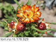 Соцветие гелихризума  в июле. Стоковое фото, фотограф Наташа Антонова / Фотобанк Лори