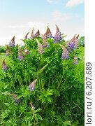 Купить «Цветущий люпин», фото № 6207689, снято 8 июня 2014 г. (c) Юлия Бабкина / Фотобанк Лори