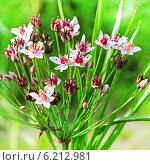Купить «Сусак зонтичный (Butomus umbellatus) — вид многолетних травянистых растений рода Сусак (Butomus). Соцветие крупно», эксклюзивное фото № 6212981, снято 28 июля 2014 г. (c) Евгений Мухортов / Фотобанк Лори