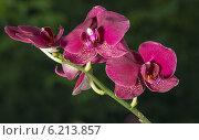 Орхидеи экзотические цветы на окне в сибири. Стоковое фото, фотограф Sergey Kiselev / Фотобанк Лори