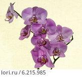 Орхидеи, экзотические цветы. Стоковое фото, фотограф Sergey Kiselev / Фотобанк Лори