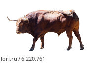 Купить «large bull, isolated over white», фото № 6220761, снято 5 июля 2013 г. (c) Яков Филимонов / Фотобанк Лори
