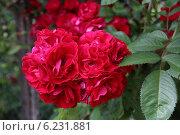 Розовые розы. Стоковое фото, фотограф Алена Перфилова / Фотобанк Лори
