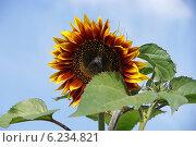 Купить «Декоративный подсолнечник с красно-жёлтыми лепестками», фото № 6234821, снято 1 августа 2014 г. (c) Павел Москаленко / Фотобанк Лори