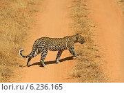 Купить «Леопард в дикой среде обитания», фото № 6236165, снято 26 февраля 2014 г. (c) Эдуард Кислинский / Фотобанк Лори