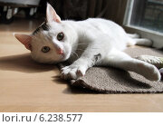 Купить «New Hagen, Germany, cat lying on the floor and looking up to viewer», фото № 6238577, снято 8 марта 2014 г. (c) Caro Photoagency / Фотобанк Лори