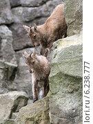 Купить «Hamburg, Germany, West Caucasian Ibex», фото № 6238777, снято 16 апреля 2014 г. (c) Caro Photoagency / Фотобанк Лори