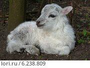 Berlin, Germany, lamb sheep breed Skudde. Стоковое фото, агентство Caro Photoagency / Фотобанк Лори