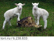Berlin, Germany, lambs of the breed of sheep Skudde. Стоковое фото, агентство Caro Photoagency / Фотобанк Лори