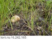 Гриб подберёзовик в траве. Стоковое фото, фотограф Сергей Лялин / Фотобанк Лори