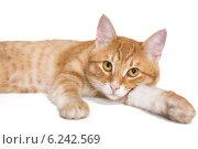 Рыжий кот лежит на белом фоне. Стоковое фото, фотограф Okssi / Фотобанк Лори