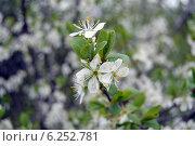 Цветущая вишня. Стоковое фото, фотограф Екатерина Романенко / Фотобанк Лори
