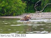 Бурый камчатский медведь кормится рыбой на реке Озерная около Курильского озера. Камчатка. Стоковое фото, фотограф Ольга Липунова / Фотобанк Лори