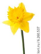 Купить «Daffodil flower or narcissus isolated on white background cutout», фото № 6260537, снято 9 мая 2013 г. (c) Natalja Stotika / Фотобанк Лори