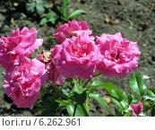 Розовые розы. Стоковое фото, фотограф Анастасия Кулькова / Фотобанк Лори