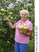 Купить «Веселая пожилая женщина собирает яблоки», фото № 6263161, снято 9 августа 2014 г. (c) Александр Романов / Фотобанк Лори