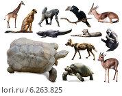 Купить «tortoise other African animals. Isolated over white», фото № 6263825, снято 5 июля 2020 г. (c) Яков Филимонов / Фотобанк Лори