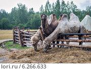 Купить «Бактрианы. Двугогорбые верблюды на кочевом стойбище», фото № 6266633, снято 8 августа 2014 г. (c) Сергей Великанов / Фотобанк Лори