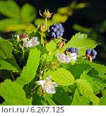 Лесная Ежевика — подрод рода Рубус (Rubus) семейства Розовые (Rosaceae). Ягоды и цветы. Стоковое фото, фотограф Евгений Мухортов / Фотобанк Лори