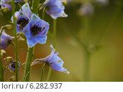 Голубые цветы дельфиниума крупным планом на размытом фоне. Стоковое фото, фотограф Анна Пикунова / Фотобанк Лори