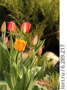 Тюльпаны в саду. Стоковое фото, фотограф Galina  Savostyanova / Фотобанк Лори