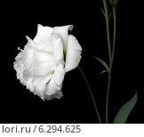 Купить «Цветок лизиантуса на чёрном фоне», эксклюзивное фото № 6294625, снято 26 июля 2014 г. (c) Wanda / Фотобанк Лори