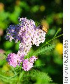 Купить «Жук-усач Лептура (Leptura) на цветках тысячелистника», эксклюзивное фото № 6296865, снято 6 августа 2014 г. (c) Артём Крылов / Фотобанк Лори