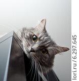 Купить «Серая сибирская кошка смотрит со шкафа», фото № 6297645, снято 30 января 2014 г. (c) Сурикова Ирина / Фотобанк Лори