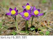 Купить «Сон трава», фото № 6301181, снято 2 мая 2013 г. (c) Зудин Виталий Владимирович / Фотобанк Лори