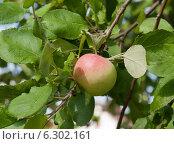 Купить «Спелое яблоко на ветке (крупным планом)», фото № 6302161, снято 9 августа 2014 г. (c) Екатерина Овсянникова / Фотобанк Лори