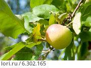 Купить «Спелое яблоко на ветке дерева», фото № 6302165, снято 9 августа 2014 г. (c) Екатерина Овсянникова / Фотобанк Лори