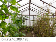 Купить «Старая теплица с огурцами и помидорами», фото № 6309193, снято 21 сентября 2013 г. (c) Евгений Ткачёв / Фотобанк Лори