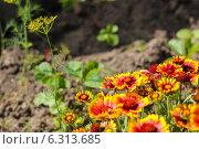Огородные цветы. Стоковое фото, фотограф Евгений Потапов / Фотобанк Лори