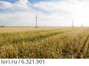 Цветение поля гречихи в Амурской области. Стоковое фото, фотограф Ирина Апарина / Фотобанк Лори