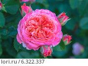 Купить «Французкая роза Эмильен Гийо», фото № 6322337, снято 12 июля 2014 г. (c) Ольга Сейфутдинова / Фотобанк Лори