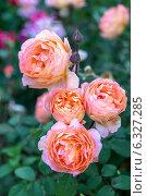 Купить «Английская кустовая роза Леди Эмма Гамильтон (Lady Emma Hamilton) David Austin», фото № 6327285, снято 12 июля 2014 г. (c) Ольга Сейфутдинова / Фотобанк Лори