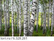 Купить «Березовая роща», фото № 6328261, снято 26 августа 2014 г. (c) Григорьев Владимир / Фотобанк Лори