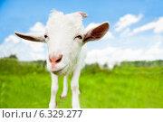 Купить «Мультяшная коза на зеленом поле (голова крупным планом)», фото № 6329277, снято 26 июля 2014 г. (c) Екатерина Овсянникова / Фотобанк Лори