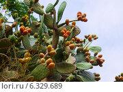 Купить «plant of opuntia ficus-indica», фото № 6329689, снято 12 августа 2014 г. (c) Яков Филимонов / Фотобанк Лори
