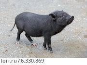 Купить «Поросенок вьетнамской вислобрюхой свиньи», фото № 6330869, снято 9 августа 2014 г. (c) Игорь Долгов / Фотобанк Лори