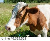 Купить «Бело-коричневая корова на лугу в солнечный летний день», фото № 6333521, снято 27 июля 2014 г. (c) Екатерина Овсянникова / Фотобанк Лори