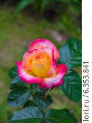 Купить «Чайно-гибридная роза», фото № 6353841, снято 15 июня 2013 г. (c) Ольга Сейфутдинова / Фотобанк Лори