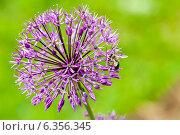 Пчела медоносная на цветке дикого лука, эксклюзивное фото № 6356345, снято 25 мая 2014 г. (c) Константин Косов / Фотобанк Лори