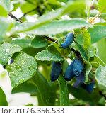 Купить «Ягоды спелые на кусту жимолости», фото № 6356533, снято 8 июня 2013 г. (c) Елена Вяселева / Фотобанк Лори