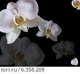 Орхидеи белые изолировано на черном фоне. Стоковое фото, фотограф ангелина кочугуева / Фотобанк Лори