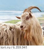 Купить «Портрет домашней козы в полупрофиль (лат. Capra hircus)», фото № 6359941, снято 14 июня 2014 г. (c) Виктория Катьянова / Фотобанк Лори