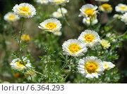 Купить «Хризантема корончатая махровая (лат. Chrysanthemum coronarium)», эксклюзивное фото № 6364293, снято 27 июля 2014 г. (c) Елена Коромыслова / Фотобанк Лори