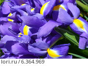 Ирисы цветы. Стоковое фото, фотограф Марина Разгулина / Фотобанк Лори