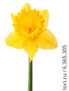 Купить «Daffodil flower or narcissus isolated on white background cutout», фото № 6365305, снято 9 мая 2013 г. (c) Natalja Stotika / Фотобанк Лори